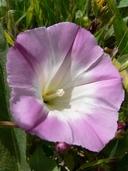 Calystegia purpurata