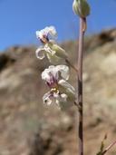 Streptanthus glandulosus ssp. secundus