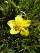 Ranunculus canus