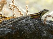 """An adult male Sceloporus smithi<br /><strong>Location:</strong> Hierve El Agua (Municipality: San Lorenzo Albarradas, Oaxaca, Mexico)<br /><strong>Author:</strong> <a href=""""http://calphotos.berkeley.edu/cgi/photographer_query?where-name_full=Vicente+Mata-Silva&one=T"""">Vicente Mata-Silva</a>"""