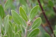 Arctostaphylos pringlei ssp. drupacea