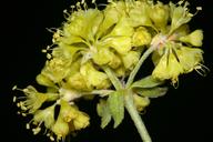 Eriogonum umbellatum var. torreyanum