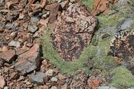 Podistera nevadensis