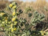 Artemisia spinescens