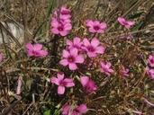 Oxalis articulata ssp. rubra