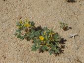 Cleomella obtusifolia