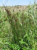 Juncus effusus ssp. pacificus