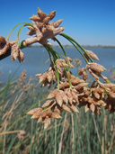 Scirpus acutus var. occidentalis