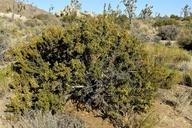Purshia tridentata var. glandulosa