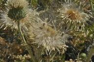 Cirsium neomexicanum
