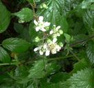 Rubus rilstonei