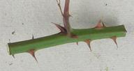 Rubus rubritinctus