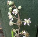 Rubus hastiformis