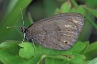 Erebia epipsodea