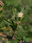 Baccharis salicifolia ssp. salicifolia