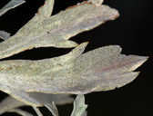 Artemisia ludoviciana ssp. ludoviciana