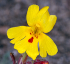 Erythranthe carsonensis