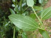 Ceanothus thyrsiflorus var. thyrsiflorus