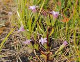 Gentianella amarella ssp. acuta