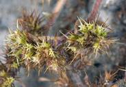 Chorizanthe minutiflora