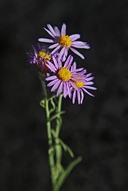 Long-leaved Aster