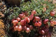 Astragalus whitneyi var. siskiyouensis
