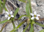 Limosella acaulis