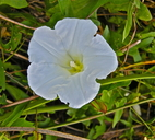 Calystegia sepium ssp. limnophila
