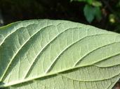 Cornus sericea ssp. occidentalis