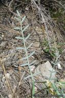Astragalus bicristatus