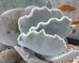 Cotyledon orbiculata