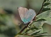 Callophrys perplexa