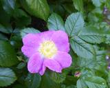 Rosa pisocarpa ssp. pisocarpa