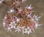 Chorizanthe cuspidata var. cuspidata