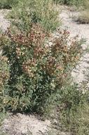 Sphaerophysa salsula