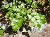 Berberis pinnata ssp. insularis