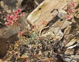 Eriogonum microthecum var. lapidicola