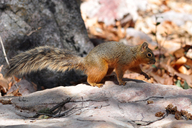 Mexican Fox Squirrel