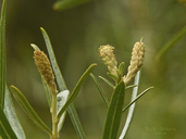 Salix exigua var. exigua