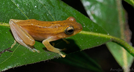 Annandale's Pygmy Tree Frog
