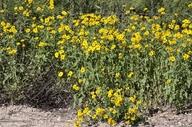 Verbesina encelioides ssp. exauriculata