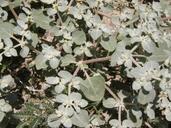 Tidestromia lanuginosa