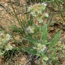 Phacelia heterophylla var. heterophylla