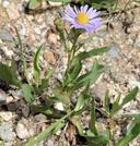 Symphyotrichum foliaceum var. parryi