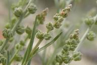 Oligomeris linifolia