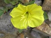 Oenothera primiveris ssp. primiveris