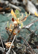Eriogonum umbellatum var. nelsoniorum