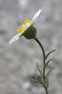 Layia pentachaeta ssp. albida