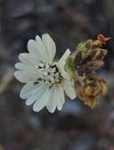 Hemizonia congesta ssp. congesta