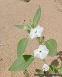 Heliotropium convolvulaceum